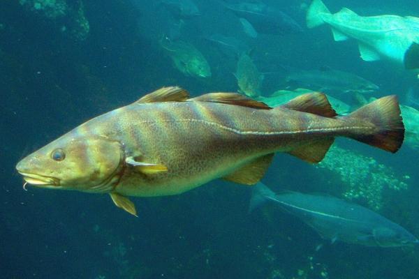 Gadus_morhua-Cod-2-Atlanterhavsparken-Norway