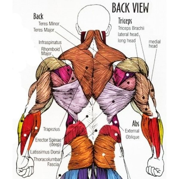 back-muscle-anatomy