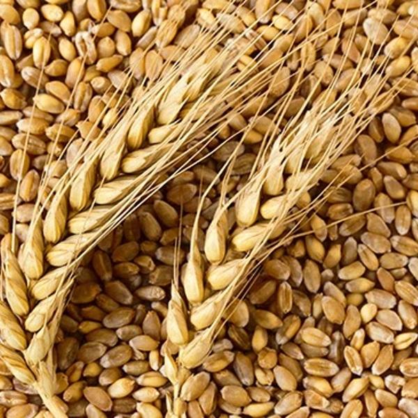 Wheat-650x365