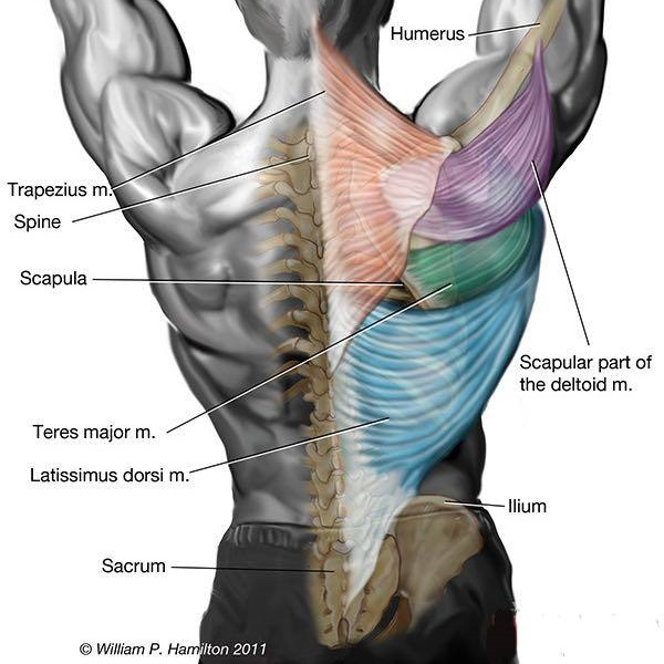 machine-low-rows-targeted-muscles