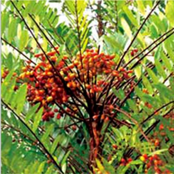 752_Tongkat Ali (Eurycoma Longifolia)